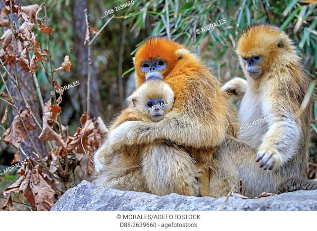 Asia, China, Shaanxi province, Qinling Mountains, Golden Snub-nosed Monkey (Rhinopithecus roxellana), mother and baby