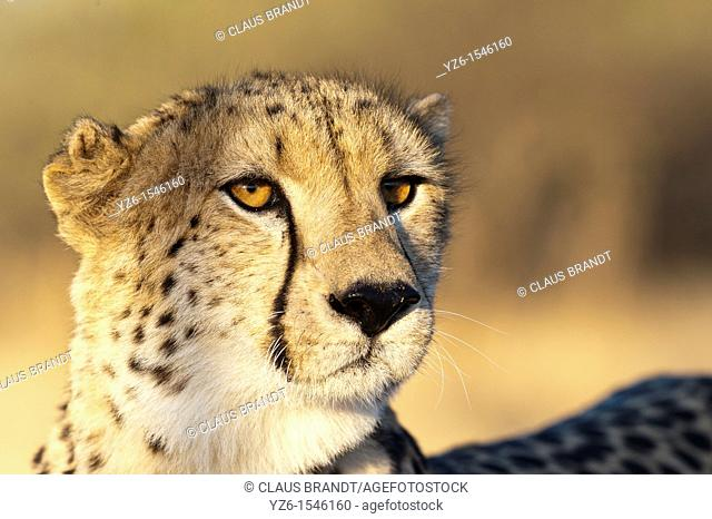 Portrait of a cheetah Acinonyx jubatus  Greater Kruger Park, South Africa