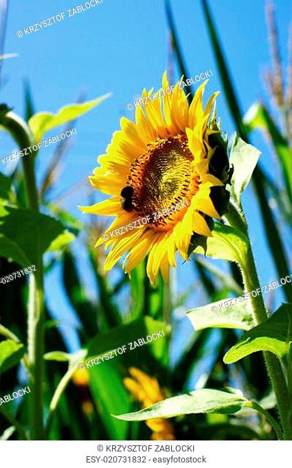 Sunflower with a leaf - clear summer blue sky