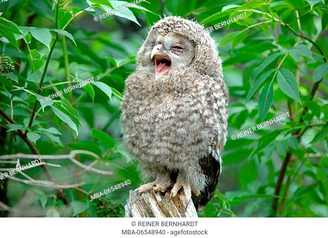 Young Ural owl in the forest, Strix uralensis