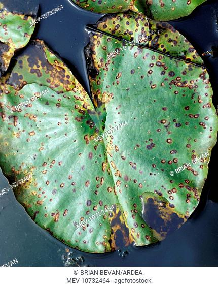 lily beetle damage to lily leaf (Galerucella nymphaeae)