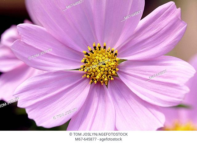 Cosmos bipinnatus 'sonata pink',  close up