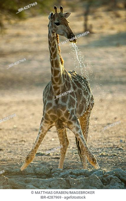Giraffe (Giraffa camelopardalis) drinking at a waterhole, Kgalagadi-Transfrontier-Nationalpark, Northern Cape Province, South Africa