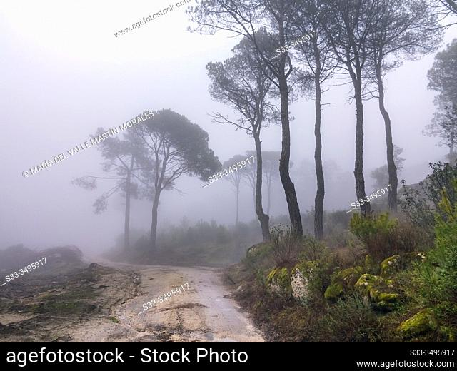Pathway, moss, cistus and fog at Concejo pinewood in Cadalso de los Vidrios. Madrid. Spain. Europe