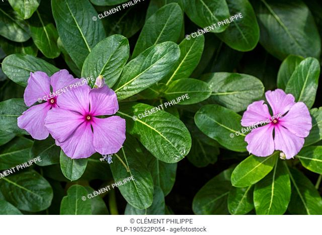 Madagascar periwinkle / rose periwinkle / rosy periwinkle (Catharanthus roseus / Ammocallis rosea) in flower, native to Madagascar