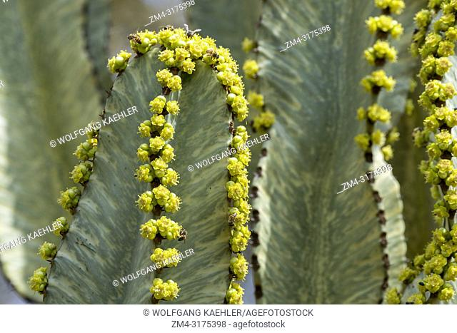 Close-up of a flowering Euphorbia candelabrum, a succulent species of plant in the Euphorbiaceae family, one of several plants commonly known as candelabra tree...