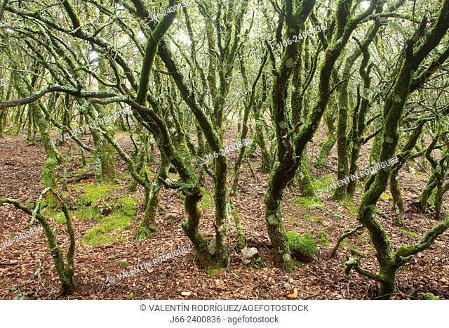 oak (Quercus ilex) forest on the route Los Navalucillos. National park Cabañeros. Toledo. Spain