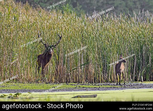 Red deer (Cervus elaphus) stag with calf emerging from reed bed along lake during the rut in autumn