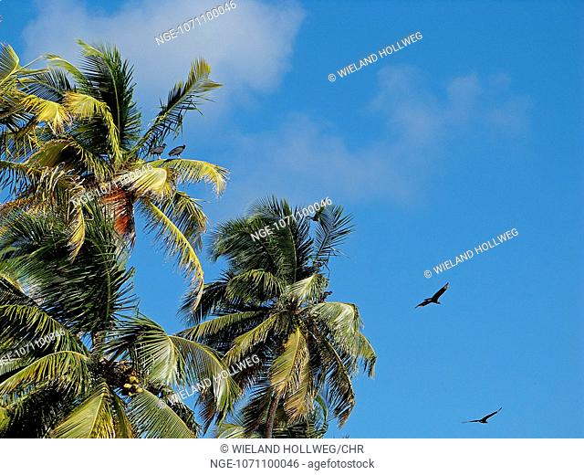 Black Vultures circling in the Manzanilla Bay in Trinidad on coconut trees, while waiting there to feed the fledglings