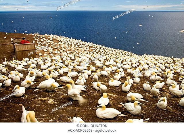 Northern gannet Morus bassanus Nesting colony, Bonaventure Island National Park, Perce, Quebec, Canada