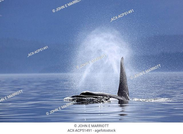 killer whale Orcinus orca, commonly referred to as the orca whale or orca in Johnstone Strait, BC, Canada