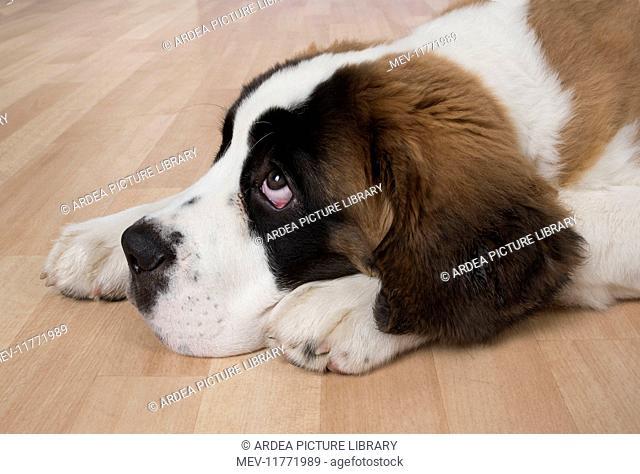 Dog Saint Bernard 15 week old puppy laying on the floor