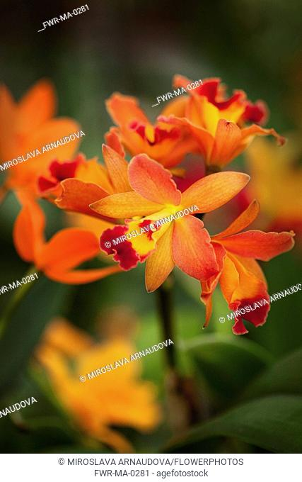 Orchid, Studio shot of orange coloured flower