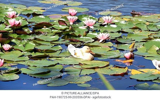 23 July 2019, Saxony-Anhalt, Wörlitz: In Wörlitzer Park a white duck swims on the Great Lake between water lilies. The Wörlitz Park was created by Prince...
