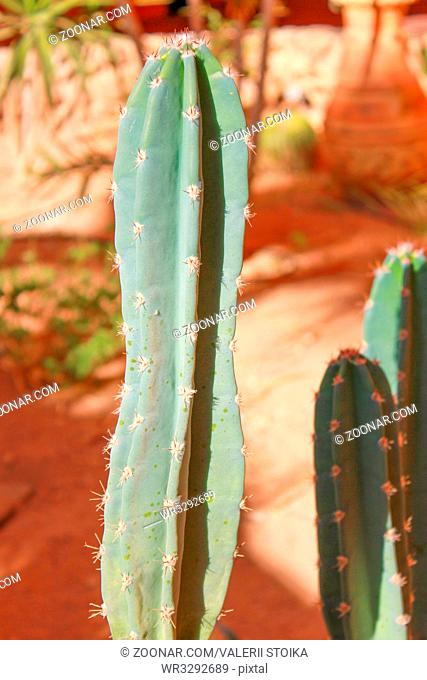 Green cactus drows at summer sun light