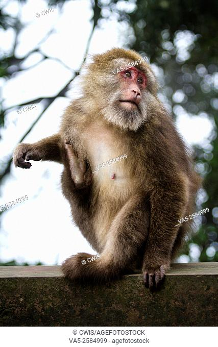 Mt. Emei, Sichuan province, China - Close up of the cute macaque in the wild