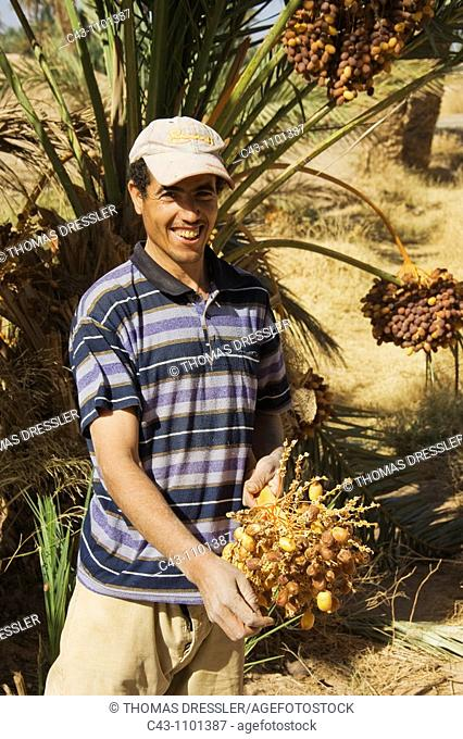 Morocco - The dates in the palmeries of Rissani in the Tafilalt usually are harvested from the date palms Phoenix dactylifera in October  Southeast Morocco