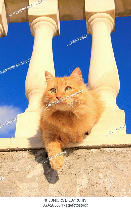 American Longhair, Maine Coon. Red cat between the columns of a terrace. Spain