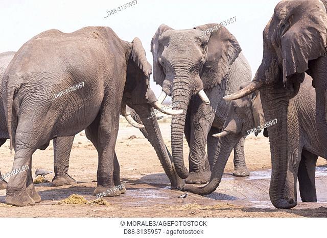 Africa, Southern Africa, Bostwana, Savuti National Park, African bush elephant or African savanna elephant (Loxodonta africana), near the water hole