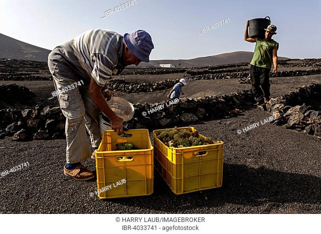 Typical vineyards in dry cultivation in volcanic ash, lava, grapes, vintage, vineyard La Geria, Lanzarote, Canary Islands, Spain