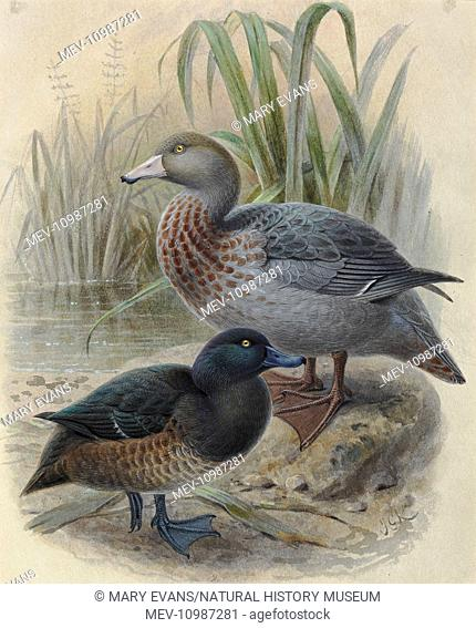 Blue Duck or 'Whio', Hymenolaimus malocohynchos, and New Zealand Scaup or 'Papango', Aythya novaeseelandiae. Artwork by JG Keulemans from Sir Walter Lawry...