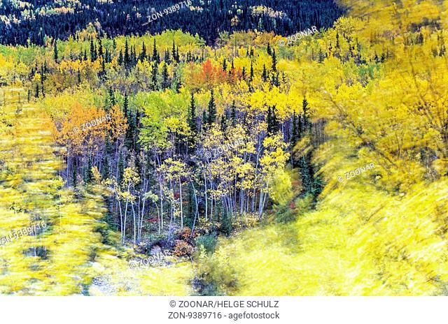 Zitterpappeln im Herbst an einem stuermischen Tag / Aspen in fall on a stormy day / Denali Nationalpark - Alaska