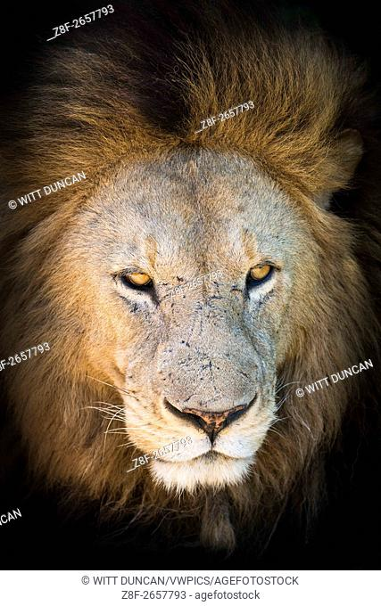 Portrait of large male lion