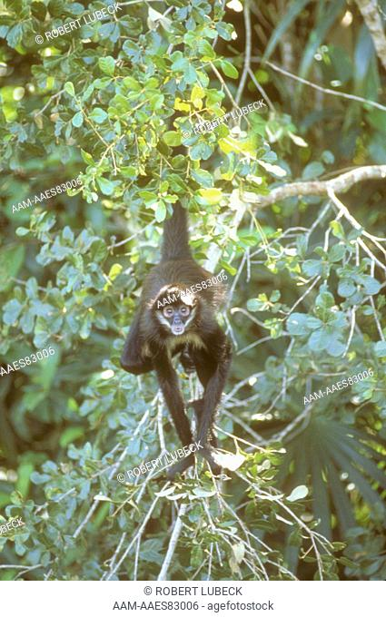 Spider Monkey (Ateles geoffroyi) Belize, Central America
