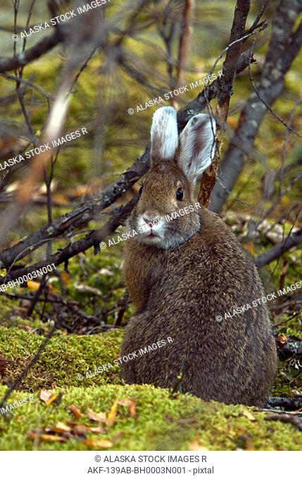 Snowshoe Hare sitting under protective foliage. Autumn in Denali National Park, Alaska
