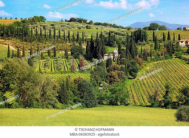 Italy, scenery in the Toscana with Castelnuovo dell'Abate with cypresses and olive trees, viticulture