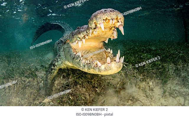 American saltwater crocodile with jaws open, Chinchorro Banks, Mexico