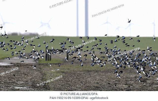 11 February 2019, Schleswig-Holstein, Hamburger Hallig: A swarm of snowhammers and earedler flies over the salt marshes near the Hamburger Hallig