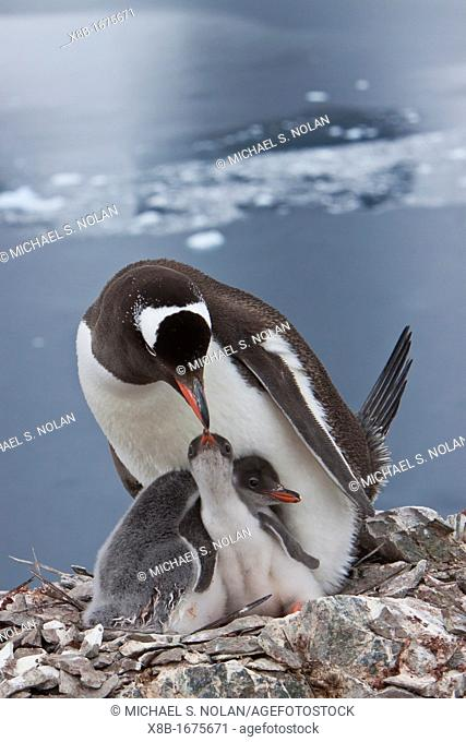 Adult gentoo penguin Pygoscelis papua feeding chicks in Antarctica