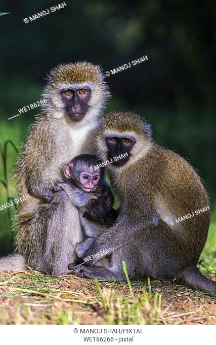 Vervet baby with mother and adult sitting closely together. Great Rift Valley, Kenya
