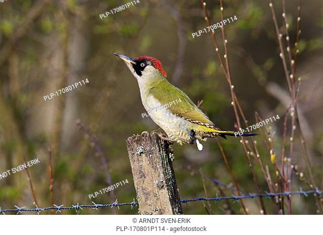 European green woodpecker (Picus viridis) female perched on old wooden fence post and defecating