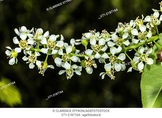 Wild Black Cherry (Prunus serotina) Spring Flowers