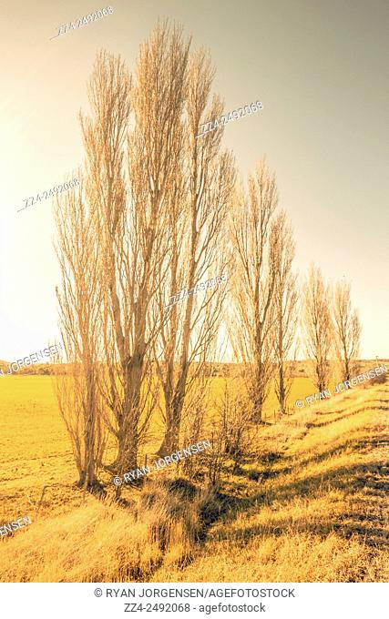 Outdoor nature scene of a line of leafless poplars in golden hues during a Tasmanian winter. Cranbrook countryside