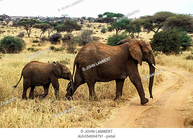 africa, tanzania female elephant with calf (loxodonta africana),crossing road in the serengeti