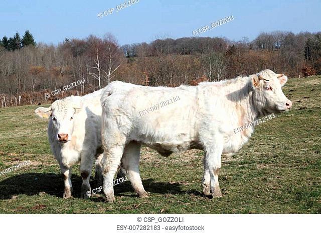 Charolais Cattle Thick Winter Coats