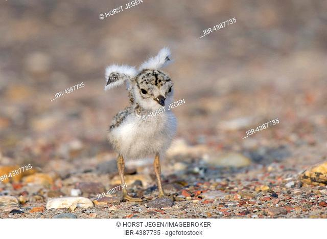Common ringed plover (Charadrius hiaticula), chicks with wings spread, Texel, Province of North Holland, Netherlands