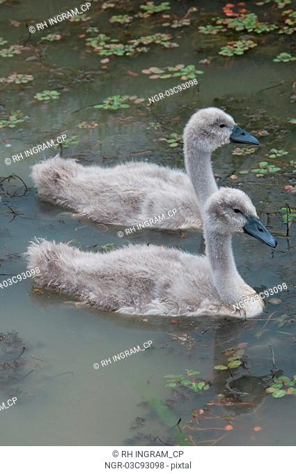 Cygnets swimming in a lake