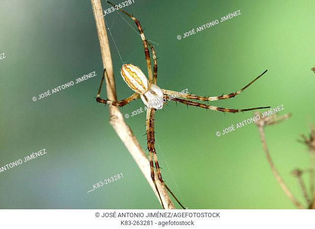 Spider (Argiope lobata), male