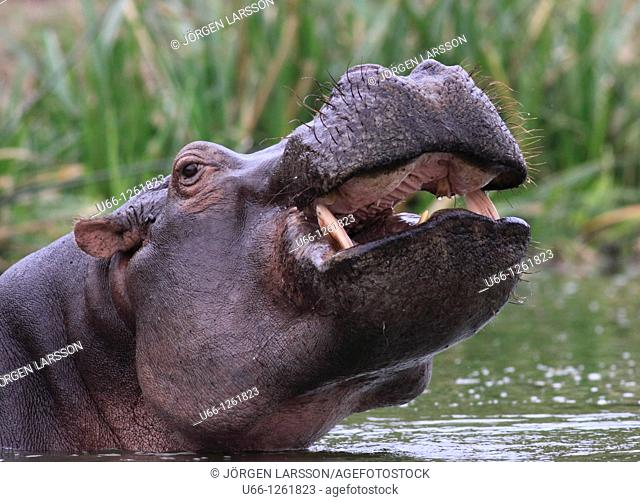 Hiopotamus Murchinson Nat Park Uganda