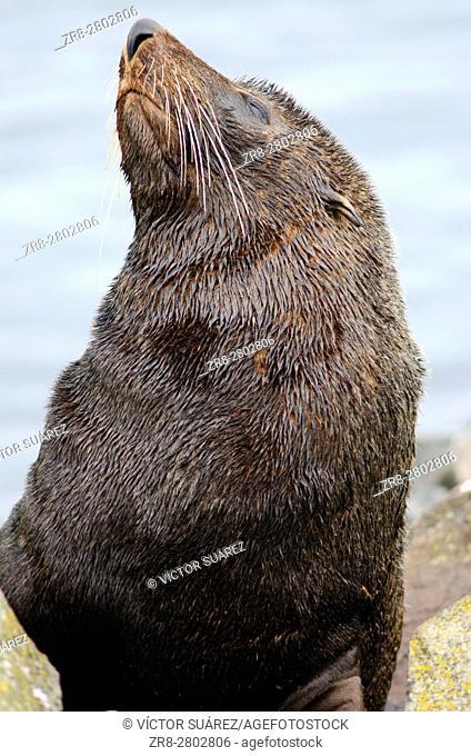 New Zealand fur seal (Arctocephalus forsteri). Male. Pilots Beach. Taiaroa Head Wildlife Reserve. Otago Peninsula. Otago. South Island. New Zealand