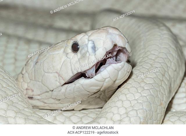 Leucistic Monocled Cobra (Naja kaouthia) - captive