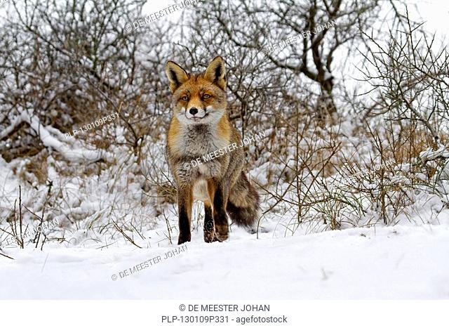 Red fox Vulpes vulpes in thicket in the snow in winter