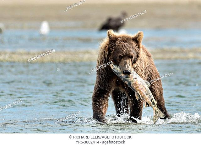 A brown bear sub-adult catches a salmon in the lower lagoon at the McNeil River State Game Sanctuary on the Kenai Peninsula, Alaska