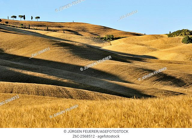 Cornfields on rolling hills with long shadows, impression of dunes in evening light, Tuscany, Italy