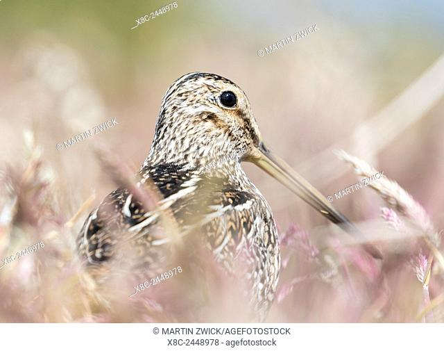 South American snipe or Magellan snipe (Gallinago paraguaiae or Gallinago magellanica) in dense gras. South America, Falkland Islands, January