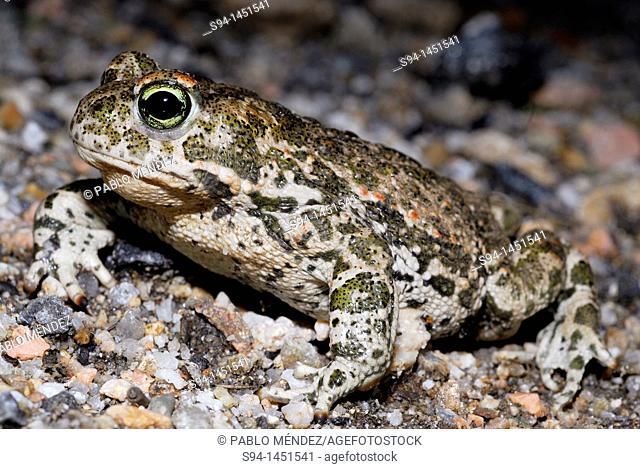 Natterjack toad Bufo calamita in La Cabrera, Madrid, Spain